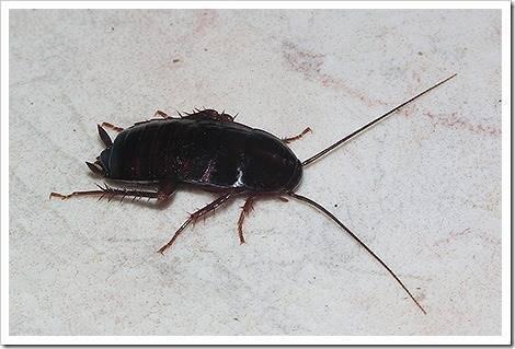 Рыжие и чёрные тараканы