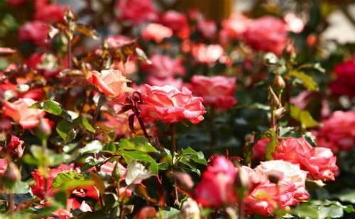 Питомник розы