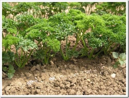 Условия необходимые для выращивания идеальной петрушки