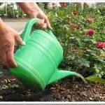 Сезон для удобрения розы