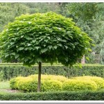 дерево катальпа